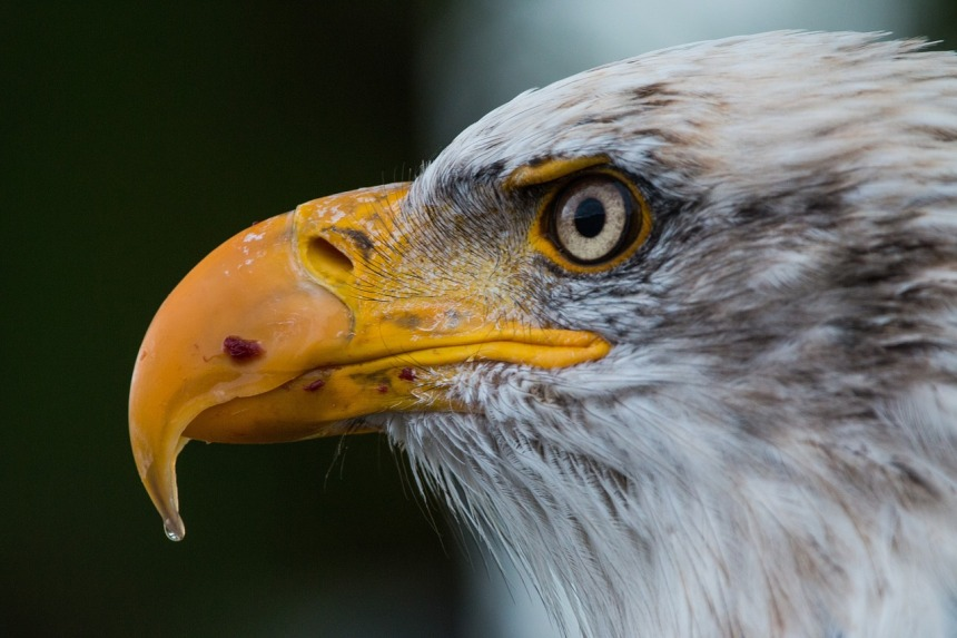 bald-eagle-1728739_1280