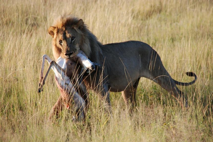 lion-425150_1280