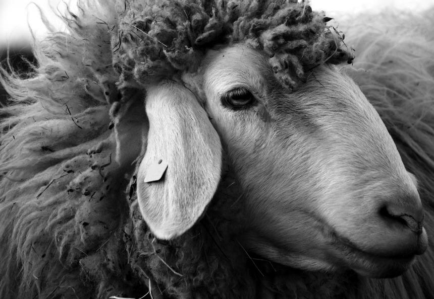 sheep-2166683_1280