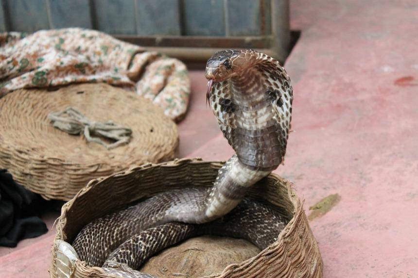 snake-charming-193966_1280