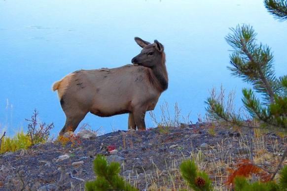 Vigilant elk in Yellowstone