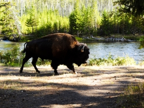Plenty of buffalo in Yellowstone